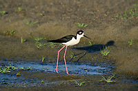579500024 a wild black-necked stilt himantopus mexicanus along the los angeles river los angeles county california