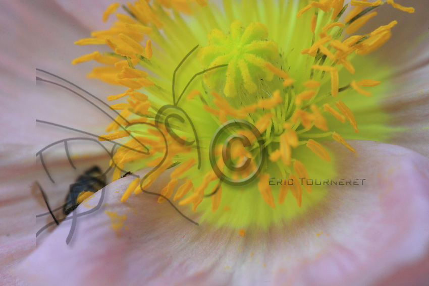 A bee in a poppy flower in a family garden. Poppy does not contain any nectar but bees like the flower for its abundant pollen.