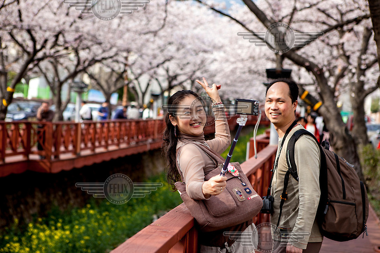 Couple photographing a memory at the most famous cherry blossom festival, the Jinhae Gunhang Festival which draws more than one million tourists from home and abroad.