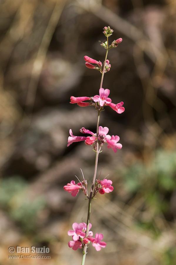 Penstemon near Pena Blanca Lake, Coronado National Forest, Arizona