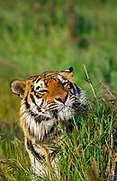 Siberian tiger, Amur tiger, Panthera tigris altaica, adult, endangered species