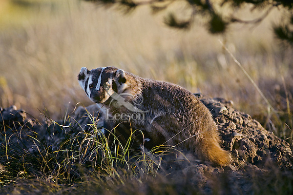American Badger (Taxidea taxus).  Western U.S...