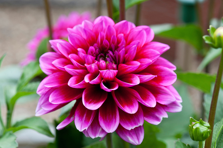 Dahlia 'Spanish Jewel', mid August.