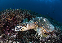 A Hawksbill Turtle ( Eretmochelys imbricata ) finding a meal at Three Trees, Similan Islands, Andaman Sea, Thailand, Indian ocean