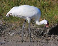 Adult whooping crane with crab