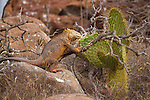 North Seymour Island in the Galapagos National Park, Galapagos, Ecuador, South America. An enedemic land iguana eating a prickly pear cactus.