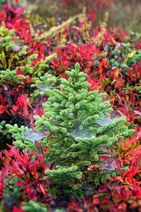 Evergreen spruce saplings, Mt desert Island, Maine