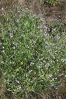 Garten-Rettich, Gartenrettich, Rettich, Raphanus sativus, radish, Le radis