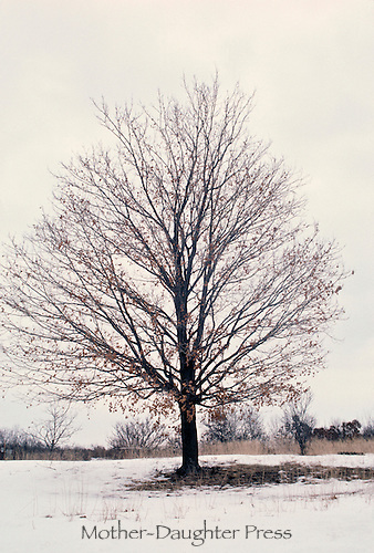 Sugar maple, Acer saccharum, tree in winter from four season series.