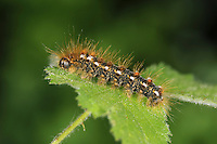 Brown-tail Moth - Euproctis chrysorrhoea
