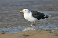Great Black-backed Gull - Larus marinus - breeding adult