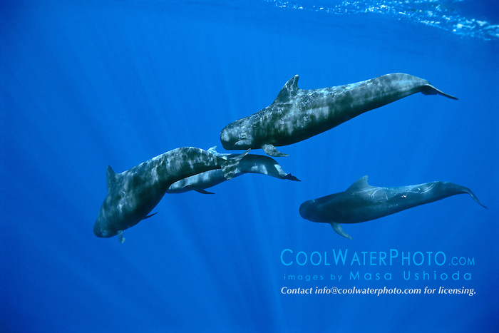 short-finned pilot whale, Globicephala macrorhynchus, large bull, excreting , offshore, Kona Coast, Big Island, Hawaii, USA, Pacific Ocean