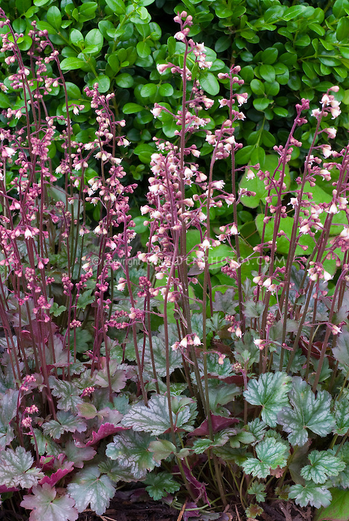 Heuchera Petite Marbled Burgundy in pink flowers with green foliage and purple undersides of leaves