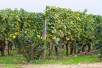 Vineyard. Chateau Liot, Barsac, Sauternes, Bordeaux, France