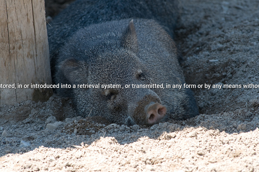 Collared Peccary laying in the dirt