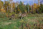 White-tailed buck following a doe in northern Wisconsin.