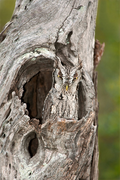 577970034 a wild eastern screech-owl otis asio stares out from its perch in a dead mesquite tree in the lower rio grande valley of south texas united states