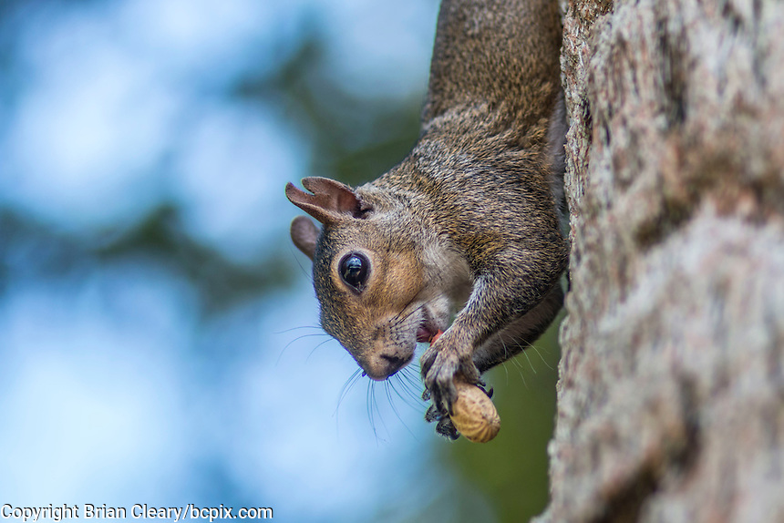 A squirrel in a Holly Hill, Fl backyard in July 2015. (Photo by Brian Cleary/ www.bcpix.com )