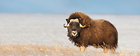 Panorama of Muskox in the snow along Alaska's arctic north slope.