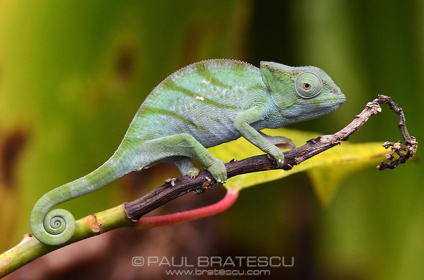 Parson's Chameleon (Calumma parsonii) Juvenile