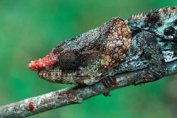 Short-horned chameleon (Calumma brevicornis), Madagascar, Africa