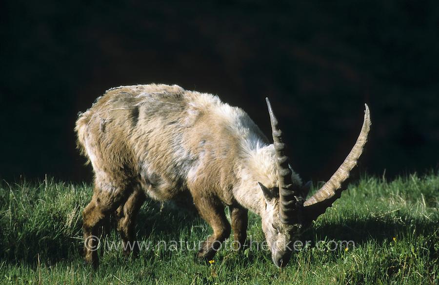 Alpen-Steinbock, Alpensteinbock, Steinbock, Männchen, Bock, Capra ibex, alpine ibex