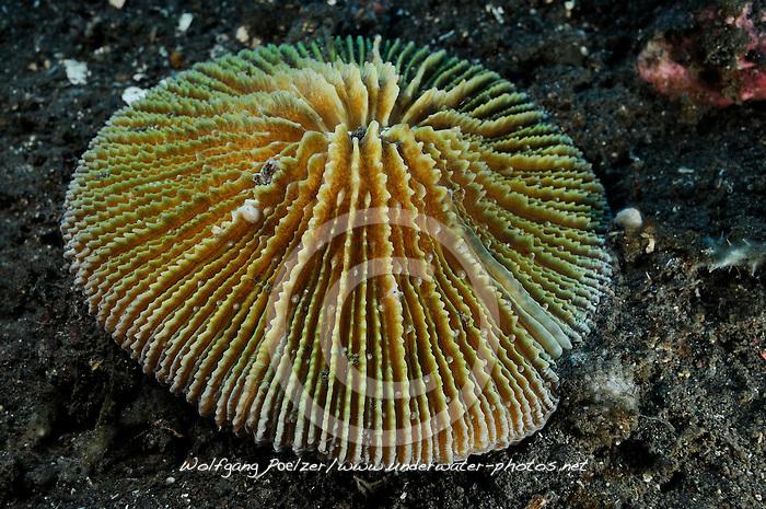 Fungia fralinae, Lagunen Pilzkoralle, Lagoon mushroom coral, Bali, Indonesien, Indopazifik, Bali, Indonesia Asien, Indo-Pacific Ocean, Asia