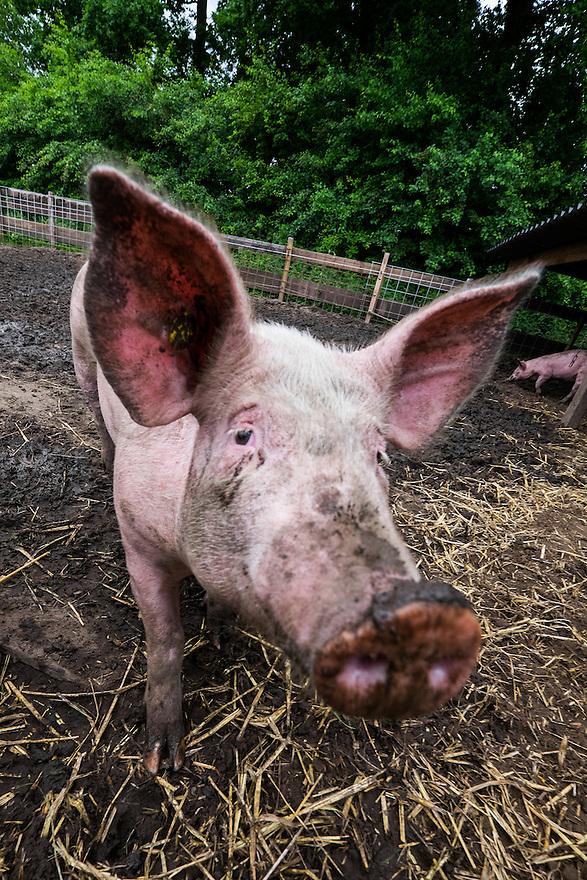 Nederland, Scherpenzeel, 20 juni 2015<br /> Open dag op biologische bedrijven. Lekker naar de Boer.  Door he hele land zijn veel biologische bedrijven open voor publiek. Er zijn informatiestands, rondleidingen, proeverijen. <br /> Biologisch bedrijf 't Paradijs. Varkens mogen lekker buiten rondscharrelen en varkensgedrag vertonen.<br /> Foto: Michiel Wijnbergh