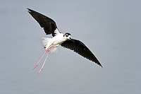Black-necked Stilt ready to land