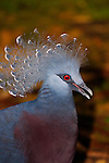 Victoria Crowned Pigeon-Goura victoria