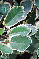 Variegated foliage of Sea Holly Eryngium Jade Frost