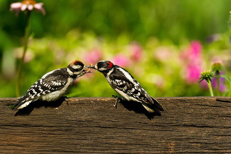 Downy Woodpecker male feeding offspring.