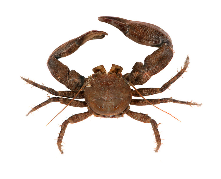 long clawed porcelain crab