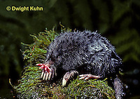 MB17-012z   Star-nosed Mole - resting on rock after a swim - Condylura cristata