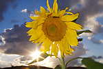 USA, California, Hybrid sunflower blowing in the wind at dusk
