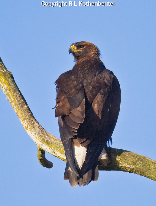 Juvenile Golden eagle perched on a snag in the afternoon sun.<br /> Snoqualmie valley near Carnation, Washington<br /> 1/17/2013