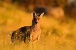 Eastern Grey Kangaroo (Macropus giganteus) female at sunrise, Mount Taylor Nature Reserve, Canberra, Australian Capital Territory, Australia