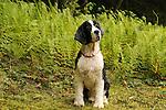 English Springer Spaniel. Donna and Chris Wysocki, owners.