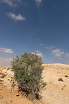 Israel, Carob tree in the Negev desert