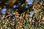 monarch butterflies on eucalyptus tree