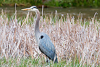 A Great Blue Heron stands in a cattail marsh along Big Sheep Creek in southwest Montana.