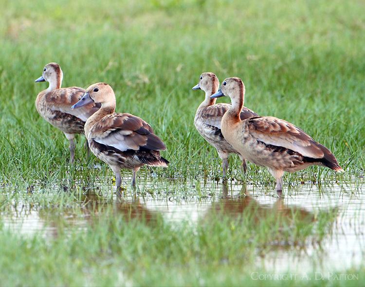 Family of juvenile black-bellied whistling-ducks