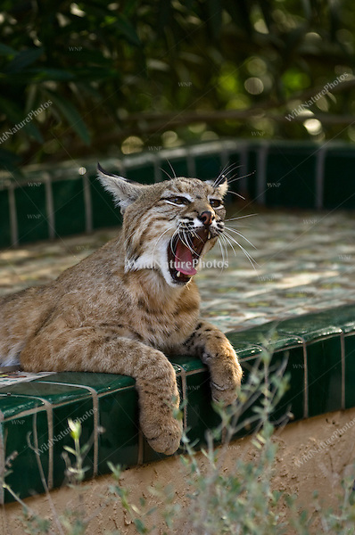 A Bobcat (Lynx rufus) hunts from a backyard patio.