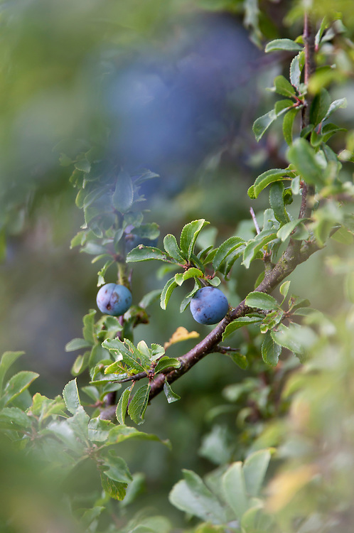 Sloes, Blackthorn fruit, prunus spinosa in hay Meadow - Clattinger farm, Wiltshire. This habitat has been reduced in the UK through intensified farming by 98% since the second world war and is highly endangered.