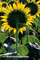 63821-04011 Common Sunflowers (Helianthus sp.) Alexander Co.   IL