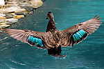 An Australian Pacific Black Duck bathes in a suburban swimming pool. Following a vigorous session of flapping, dunking, and dousing these ducks stand on the water and flap strongly to remove any tracs of water from their wings. //  Pacific Black Duck - Anatidae: Anas superciliosa. Length to 60cm; wingspan to 95cm; weight to 1.1kg. In Australia widespread throughout all habitats except the sandy and stony desert regions, though in times of high rainfall will be present anywhere there is surface water. Nomadic, or sedentary especially in well-watered areas. Very common in urban parks where it quickly learns to accept food from visitors. Hybrids with the introduced Mallard (A. platyrhynchos) are relatively common, distinguished by the orange flush on the normally grey-brown legs and feet, and interruptions in the regular feather pattern on the body. Sedentary in well-watered areas or nomadic in times of high rainfall, wandering anywhere throughout the continent during the night. Extra-Australian distribution from Indonesia, through New Guinea east to Polynesia, north to the Caroline Islands, south to New Zealand.  Has a brilliant iridescent-green speculum on each wing, and complex display rituals.