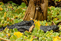 Alligator in water lettuce, Audubon Corkscrew Swamp Sanctuary, Florida, Alligator