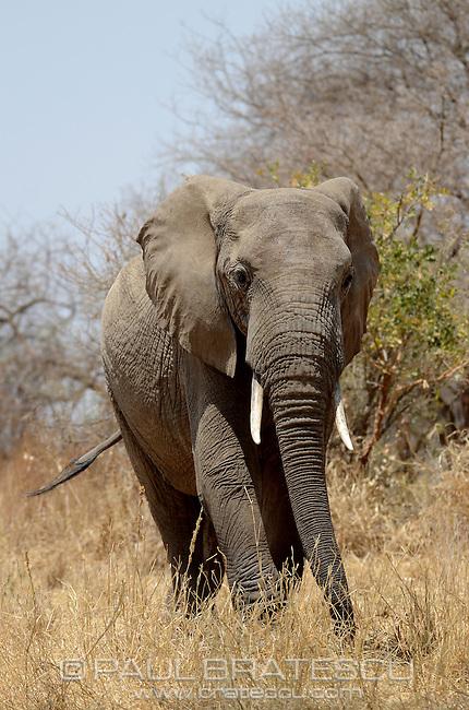 African Elephant (Loxodonta Africana) Tanzania Serengeti Africa.