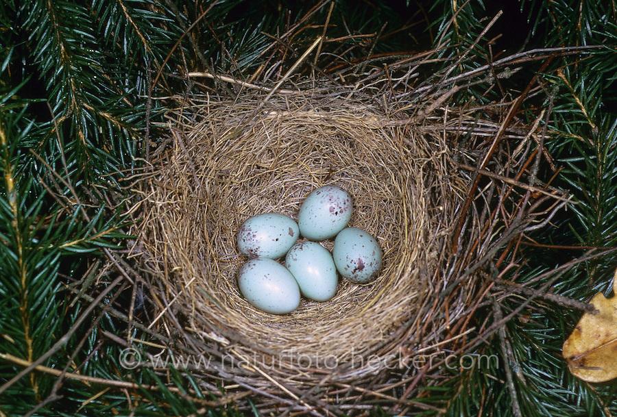 Gimpel, Dompfaff, Nest, Gelge mit Ei, Eiern, Pyrrhula pyrrhula, Eurasian bullfinch