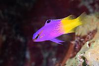 Fairy basslet, Gramma loreto, Bonaire, Caribbean Netherlands, Caribbean